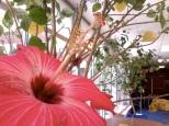 Hibiscus flower at school!