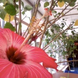 Hibiscus flower at school!